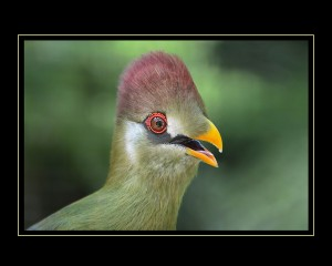 First Place Portrait - Crested Turaco - Victor Barrera